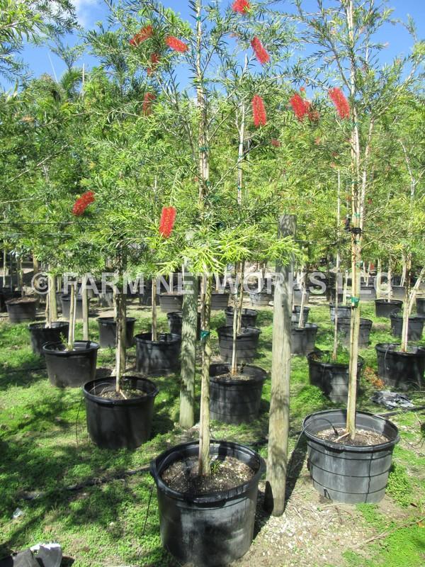 25 Gallon Clusia Prices Homestead Hedge Plants 786
